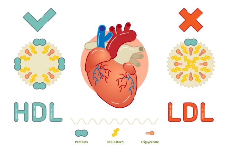 Mitos Sobre El Colesterol Todo el colesterol daña tu salud