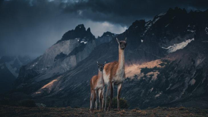 Fotos De La Vida Natural De La Patagonia Dos guanacos en la montaña
