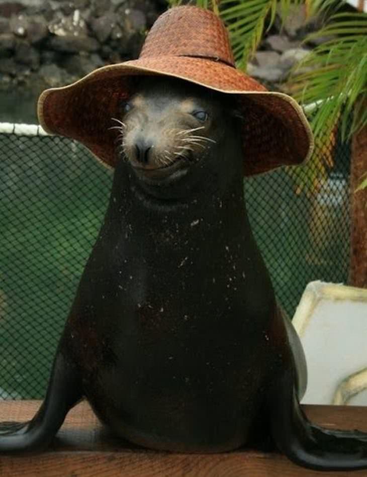 Animales Usando Sombreros León marino con sombrero