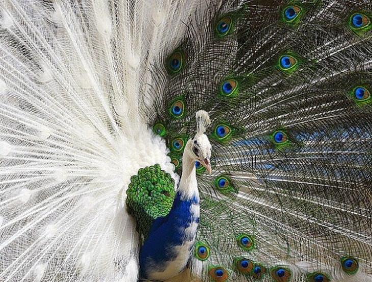 Animales Hermosos y Coloridos Pavo real semi-albino