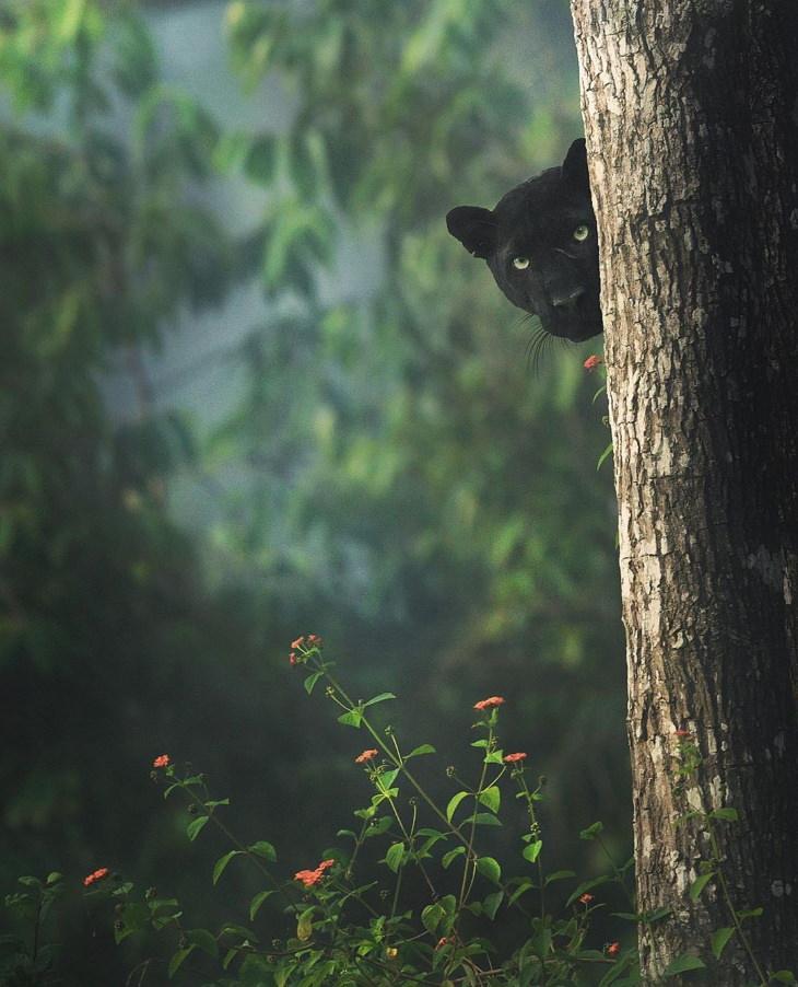 Pantera negra tras un árbol
