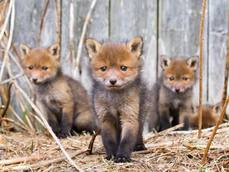 Fotos De Animales De Los Bosques De Finlandia zorros bebés