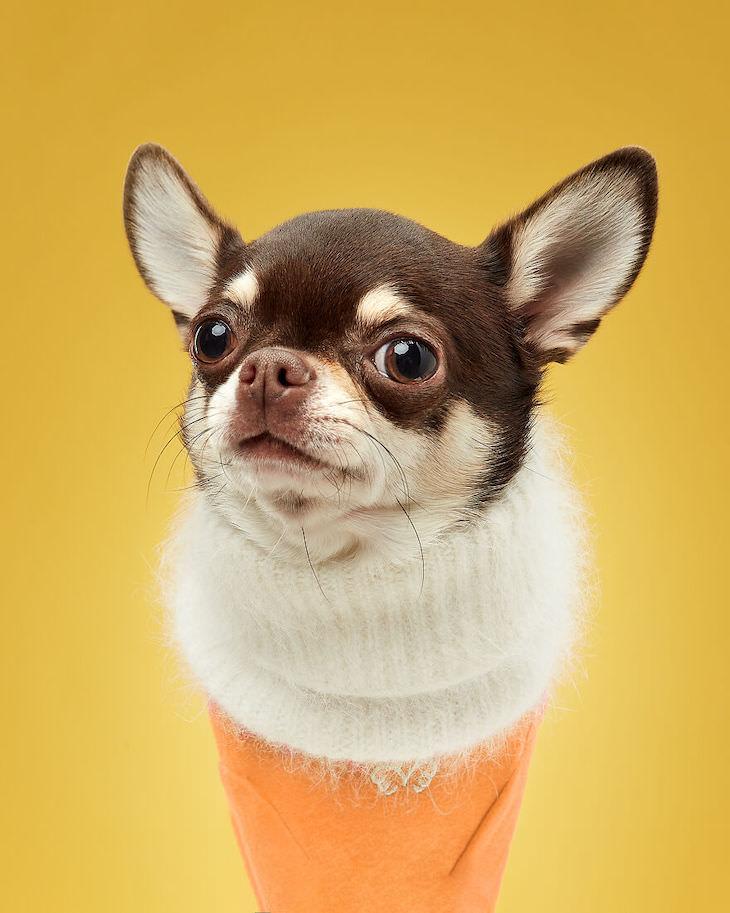 Retratos De Perros Divertidos y Conmovedores Tati, la chihuahua, actúa como cobertura de chocolate en este cono de helado especial