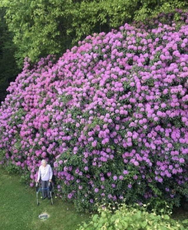 Fotos De Comparaciones Un rododendro de 100 años y la mujer que lo plantó
