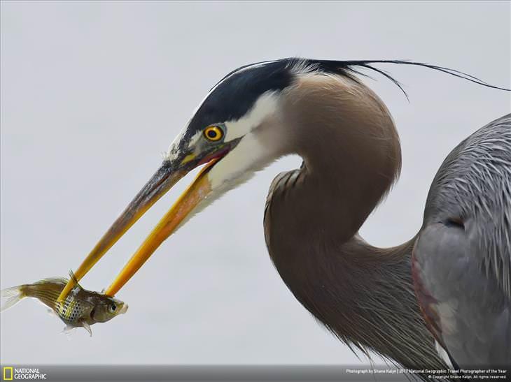 """Fotos Asombrosas Del Planeta Tierra """"Heron Sushi"""" en Vancouver, Columbia Británica, Canadá"""