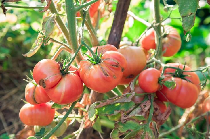 Chiste: Cómo Madurar Los Tomates
