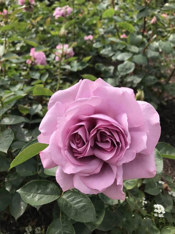 Conmovedoras Fotos Que Nos Muestran La Belleza De La Naturaleza  Dos rosas en una