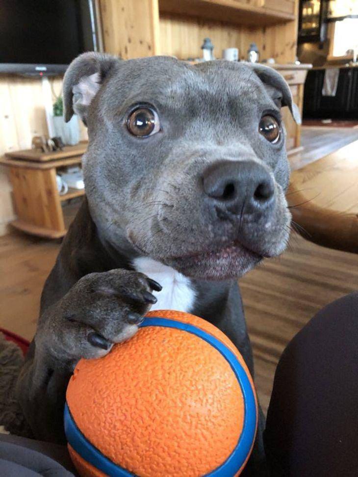 Mascotas Que Exigen La Atención De Sus Dueños Perro con su pelota