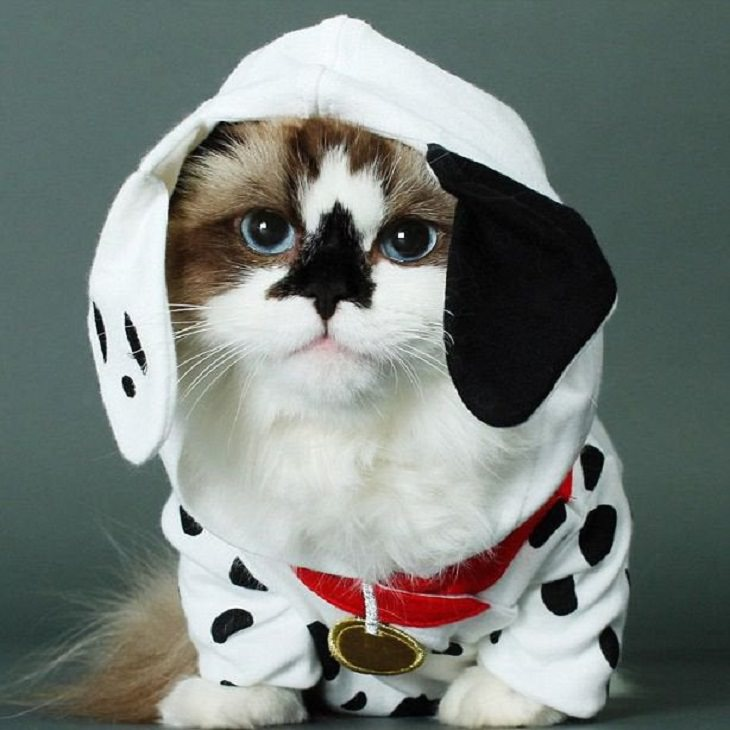 Adorables Fotos De Gatitos Usando Disfraces Perro dálmata