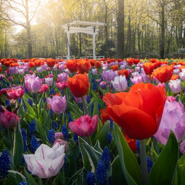 El Jardín De Tulipanes Más Hermoso Del Mundo Acercamiento