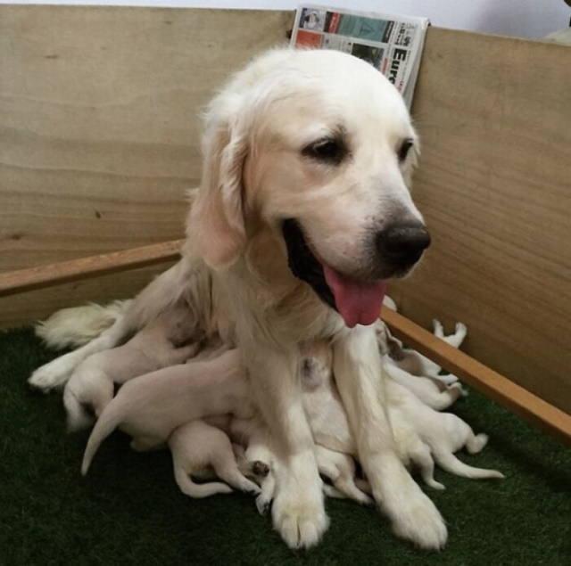Fotos De Mamás Con Sus Cachorros Perrita amamantando a sus cachorros