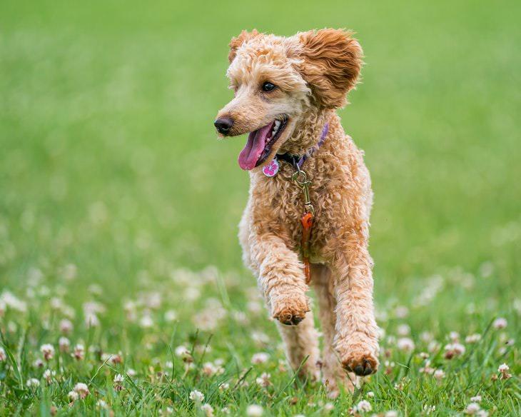 Mito 1. Las razas de perros y gatos hipoalergénicos no desencadenan ningún síntoma.