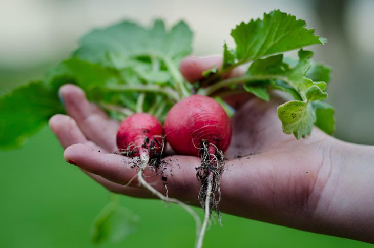 Las Plantas Más Fáciles De Cultivar En Contenedores Rábanos