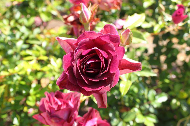 9 Rosas Que Llenarán Tu Jardín De Hermosos Aromas Ciruela fragante
