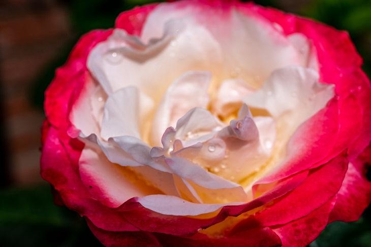 9 Rosas Que Llenarán Tu Jardín De Hermosos Aromas Doble delicia