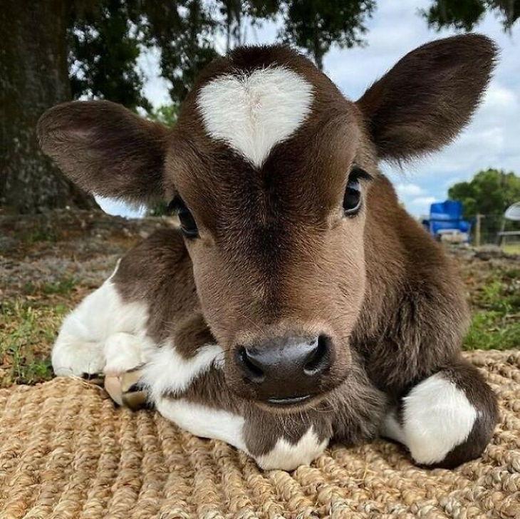 Fotos De Animales Para Alegrar Tu Vida Becerro corazón en la cabeza