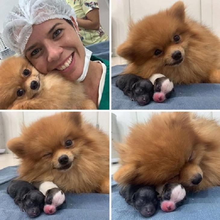 Veterinarios Con Sus Adorables Pacientes Pomerania con sus cachorros