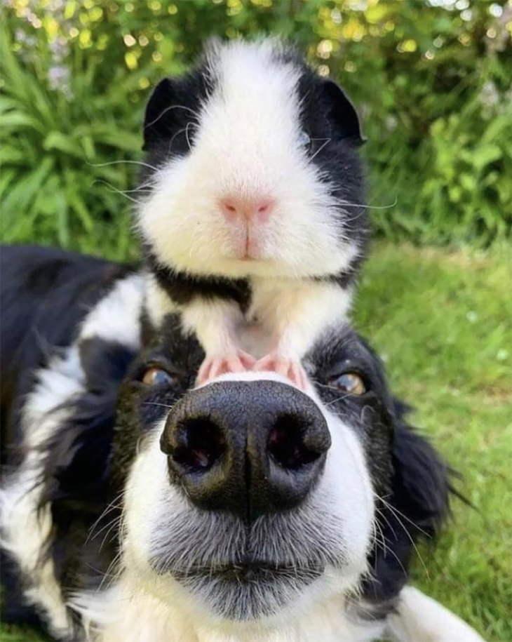 Animales Parecidos Adorables Perro y Conejillo de Indias blanco con negro