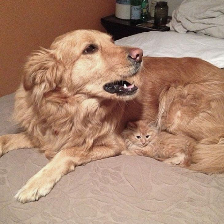 Animales Parecidos Adorables Perro Golden y gatito