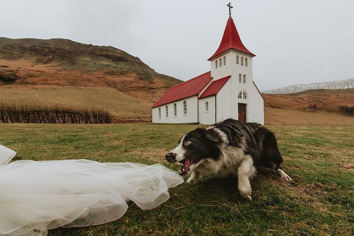 Perros En Fotos De Bodas Perro tratando de morder el vestido de novia