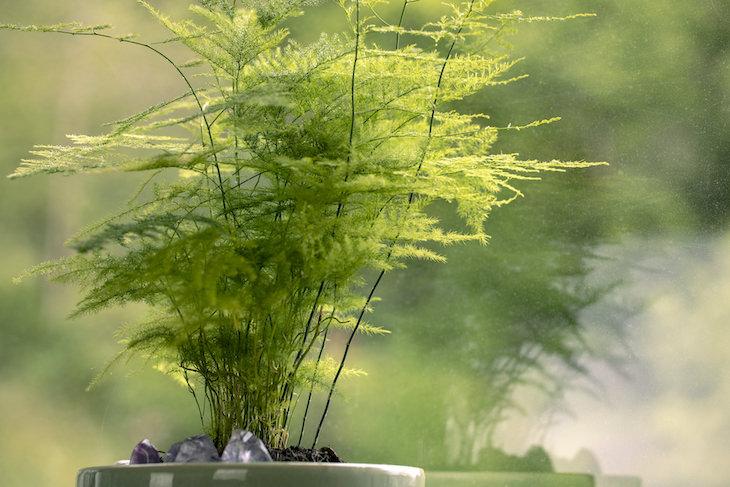 Plantas De Interior Tóxicas Helecho plumoso