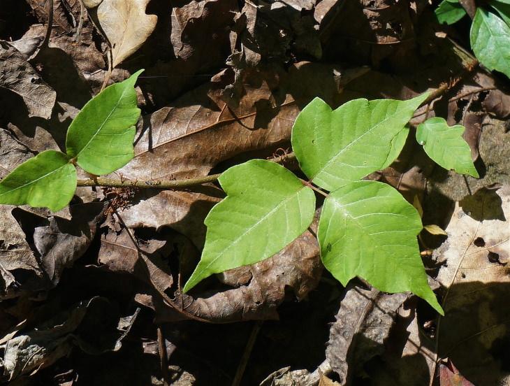 Remedios Para Erupciones En La Piel Por Hiedra Venenosa Planta hiedra venenosa