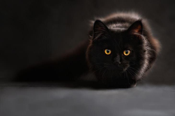 Datos Interesantes Sobre Los Gatos Negros En algunas culturas, se cree que los gatos negros traen buena suerte
