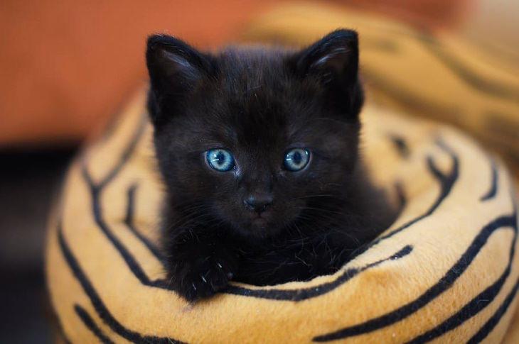 Datos Interesantes Sobre Los Gatos Negros Hay 22 razas diferentes de gatos negros