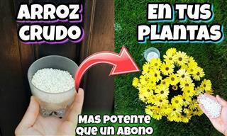 Los Grandes Beneficios Que El Arroz Tiene Para Tus Plantas