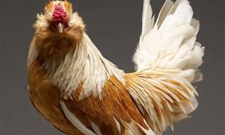 ¡No Te Pierdas Estos Pollos Tan Fotogénicos!