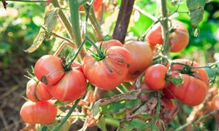 Chiste Del Día: Aprender a Madurar Los Tomates