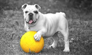 Los Bulldogs Son Los Perros Más Divertidos