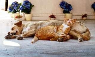 Gatos Que Usan Perros Como Almohada…