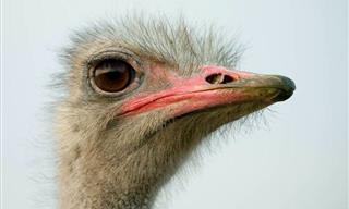 10 Increíbles e Interesantes Datos Sobre Las Avestruces