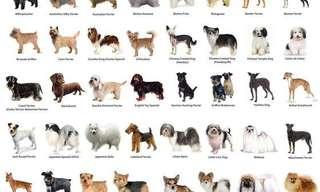 ¿Qué Raza Serías Si Fueras Un Perro?