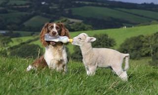 ¡Estos Animales Tienen Un Gran Corazón!