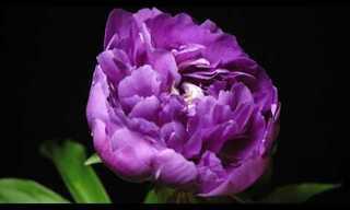 El Más Hermoso Florecer...