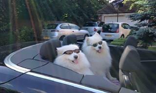 Lindos y Adorables: Perros De Raza Samoyedo