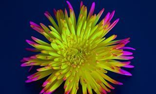 20 Crisantemos Que Puedes Ver En Todo El Mundo