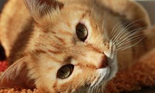 Quiz: ¿Cuánto Sabes Sobre Los Gatos?