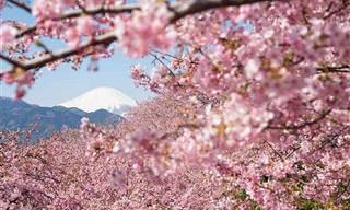 Las Flores de Cerezo Son Una Obra De Arte