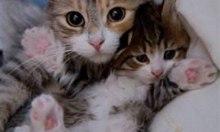 Estos 15 Gatitos Son Totalmente Idénticos a Sus Papás