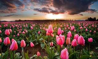 Estos Tulipanes Son Una Belleza