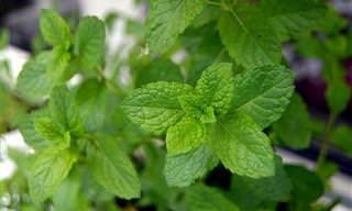 7 Hierbas Fáciles De Cultivar Que Ayudan a Combatir Las Enfermedades