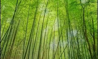 Hermosos Bosques de Bambú