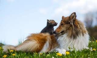El Amor Incondicional De Una Perra a Un Lobo