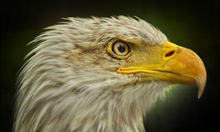 25 Curiosidades Sobre Las Águilas. Las Reinas Del Cielo