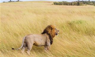 Un Cuento Sobre Un León Atemorizado