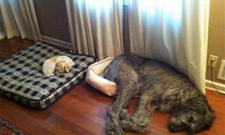 Perros Que No Son Conscientes De Su Tamaño
