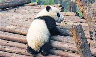 14 Lindos y Divertidos Osos Panda